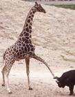 长颈鹿搞笑图片