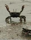 搞笑的螃蟹