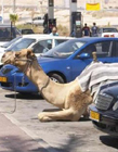 骆驼图片大全