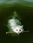 会游泳的猫