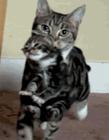 可爱猫gif