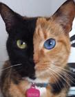 阴阳脸双面猫
