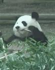 熊猫搞笑gif动态图片