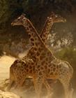 非洲长颈鹿打架