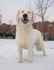雪地里的狗