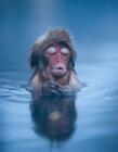 日本泡温泉的雪猴
