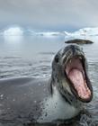 海豹吞食小企鹅