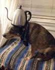 澳大利亚宠物狗拥有惊人平衡力
