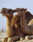 骆驼搞笑gif动态图片