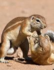 南非两松鼠抢食西瓜