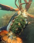 美洲海螯虾