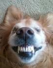 汪星人搞笑龇牙咧嘴表情