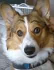 给狗画眉毛