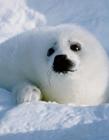 海豹gif,海豹动态图片