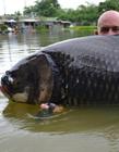 英国男子钓到68公斤的鲤鱼