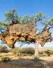 世界上最大鸟巢图片,非洲最大鸟巢