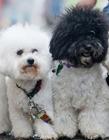 众多珍贵名犬参加英国克鲁夫茨狗展