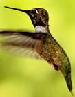 世界上最小的鸟是蜂鸟