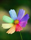 七色花图片 七色堇 彩虹花