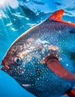 人类发现第一条温血鱼
