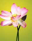 莲花的图片