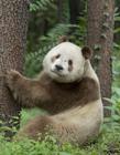 棕白色大熊猫