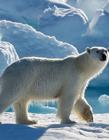 北极熊图片大全