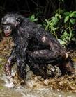 黑猩猩图片