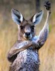 澳大利亚袋鼠