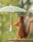 小松鼠雨中撑伞高清