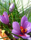 番红花图片 番红花花语