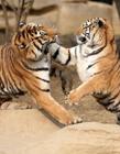 老虎打架视频