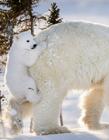 小北极熊实在太萌了