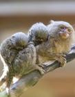 世界上最小的猴子图片 世界上最小的猴子是什么猴