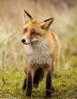 狐狸图片大全