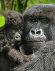 山地大猩猩动物世界