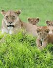 坦桑尼亚狮子图片