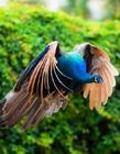 孔雀飞翔图片大全