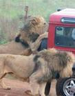 坦桑尼亚狮子吃人事件