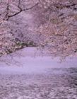 日本弘前公园 日本弘前樱花园