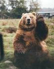 可爱的小棕熊