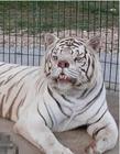 世界史上长得最丑的老虎
