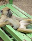 动物实力演葛优瘫 葛优瘫模仿大赛