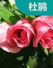 常见花卉栽培管理技术