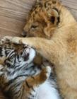 小老虎和小狮子图片