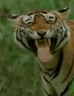 老虎搞笑视频