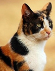 中国猫的品种及图片