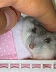 小仓鼠的搞笑视频