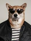 柴犬模特 男装犬模