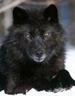 黑色的动物 浑身漆黑的动物